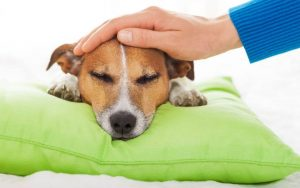 What is the goal of parvo treatment with antibiotics?