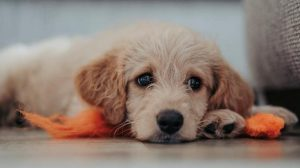 New Parvo Treatment Allows Puppy Owners to Beat Parvo at Home
